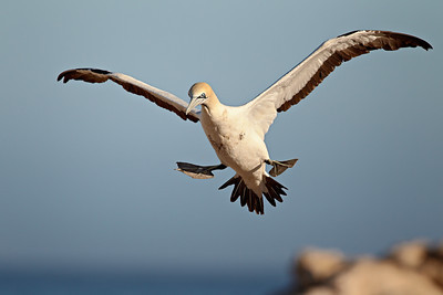 """Landing!""  A Cape gannet (Morus capensis) prepares to make a landing. Taken in the colony at Lambert's Bay, South Africa, Africa."