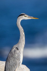 A grey heron (Ardea cinerea), with the Atlantic Ocean in the background. They look so much like the great blue heron (Ardea herodias) we see in the Americas. Taken at Lambert's Bay, South Africa, Africa.