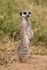 A meerkat (Suricata suricatta). Taken in Mountain Zebra National Park, South Africa, Africa.