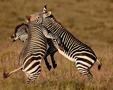"""Mountain Zebra Fight""  Two Cape mountain zebra (Equus zebra zebra) fight. It was a lovely, cool morning. The zebras were enjoying the cool weather, too, and were getting frisky.  Taken at Mountain Zebra National Park, South Africa, Africa. The species is listed as threatened on the IUCN Red List of Threatened Species at iucnredlist.org."