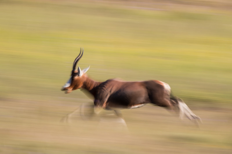 Blesbok (Damaliscus pygargus phillipsi) on the run. A long exposure was used for a deliberate blur effect. Taken in Mountain Zebra National Park, South Africa, Africa.