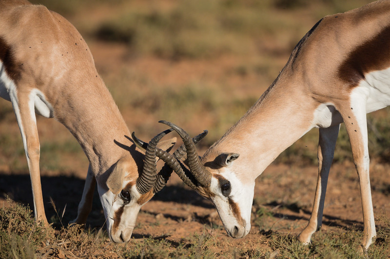 Two adult male springbok (Antidorcas marsupialis) sparring. Taken in Mountain Zebra National Park, South Africa, Africa.