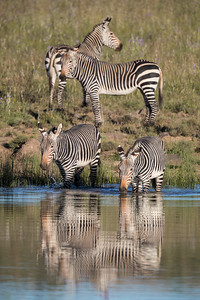 """Reflecting Zebra"""