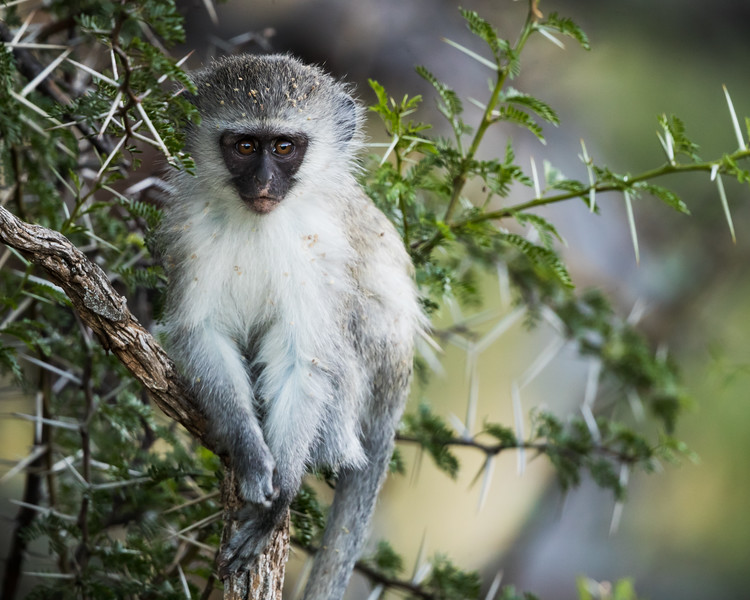 A vervet monkey (Chlorocebus aethiops). Taken in Mountain Zebra National Park, South Africa, Africa.