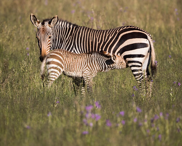 """Mountain Zebra and Young"""