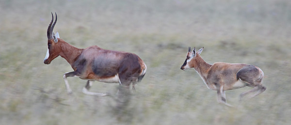 """Blesbok and Young, Running""  Running blesbok (Damaliscus pygargus phillipsi) adult and young. This is a pan-blur at a slow shutter speed. Taken at Mountain Zebra National Park, South Africa, Africa."