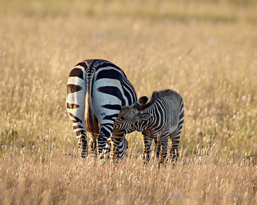 A female Cape mountain zebra (Equus zebra zebra) nurses her young. Taken at Mountain Zebra National Park, South Africa, Africa. The species is listed as threatened on the IUCN Red List of Threatened Species at iucnredlist.org.