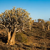 Quiver tree, also known as kokerboom (Aloe dichotoma). Taken in the Namakwa district, Northern Cape Province, South Africa, Africa.