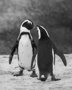 """""""I Like You, Too""""  To walk amongst penguins was a real highlight of my life. Here you see a pair of courting African penguins (Spheniscus demersus). Taken at Boulders Beach, Simon's Town, South Africa, Africa. The bird is also known as the Black-footed penguin or the Jackass penguin.  The species is listed as endangered on the IUCN Red List of Threatened Species at iucnredlist.org."""