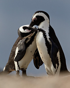 """Nuzzing Penguins""  An African penguin (Spheniscus demersus) pair engage in mutual preening prior to mating. Taken at Boulders Beach, Simon's Town, South Africa, Africa. The bird is also known as the Black-footed penguin or the Jackass penguin.  The species is listed as endangered on the IUCN Red List of Threatened Species at iucnredlist.org."