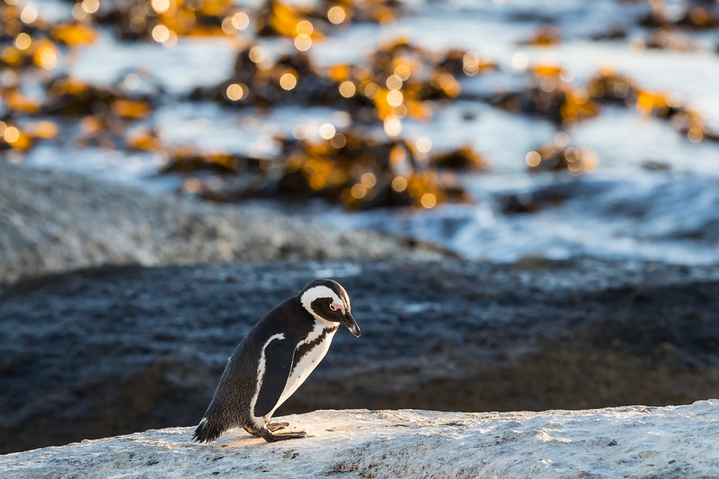 African penguin (Spheniscus demersus). The bird is also known as the black-footed penguin or the jackass penguin.  The species is listed as endangered on the IUCN Red List of Threatened Species at iucnredlist.org.Taken at Boulders Beach, Simon's Town, South Africa, Africa.