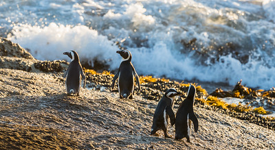 African penguins (Spheniscus demersus) heading out to sea as light dances on the waves and shore. The bird is also known as the black-footed penguin or the jackass penguin. The species is listed as endangered on the IUCN Red List of Threatened Species at iucnredlist.org. Taken at Boulders Beach, Simon's Town, South Africa, Africa.