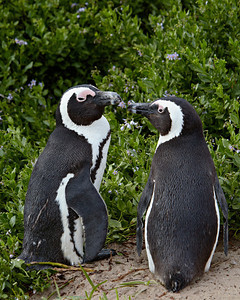 """Penguins In Love""  An African penguin (Spheniscus demersus) pair standing outside their nest hole, which is hidden in the foliage. Taken at Boulders Beach, Simon's Town, South Africa, Africa. The bird is also known as the Black-footed penguin or the Jackass penguin.  The species is listed as endangered on the IUCN Red List of Threatened Species at iucnredlist.org."