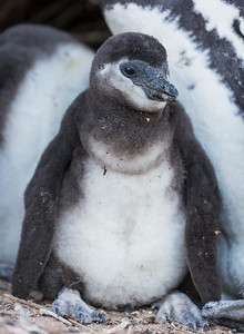 """African Penguin Chick"""