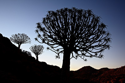 """""""Quiver Trees at Twilight"""""""