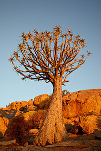 """""""Quiver Tree in Warm African Light""""  A quiver tree or kokerboom (Aloe dichotoma). I love the very unusual bark of this tree, as well as the shape of the tips of each branch. Taken at Orbicule Kop, near Springbok, South Africa, Africa."""
