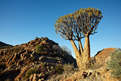 A three-trunked quiver tree or kokerboom (Aloe dichotoma). Taken at Orbicule Kop, near Springbok, South Africa, Africa.