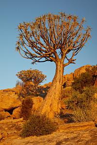 A quiver tree or kokerboom (Aloe dichotoma). Taken at Orbicule Kop, near Springbok, South Africa, Africa.