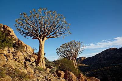 Quiver trees or kokerbooms (Aloe dichotoma). Taken at Orbicule Kop, near Springbok, South Africa, Africa.