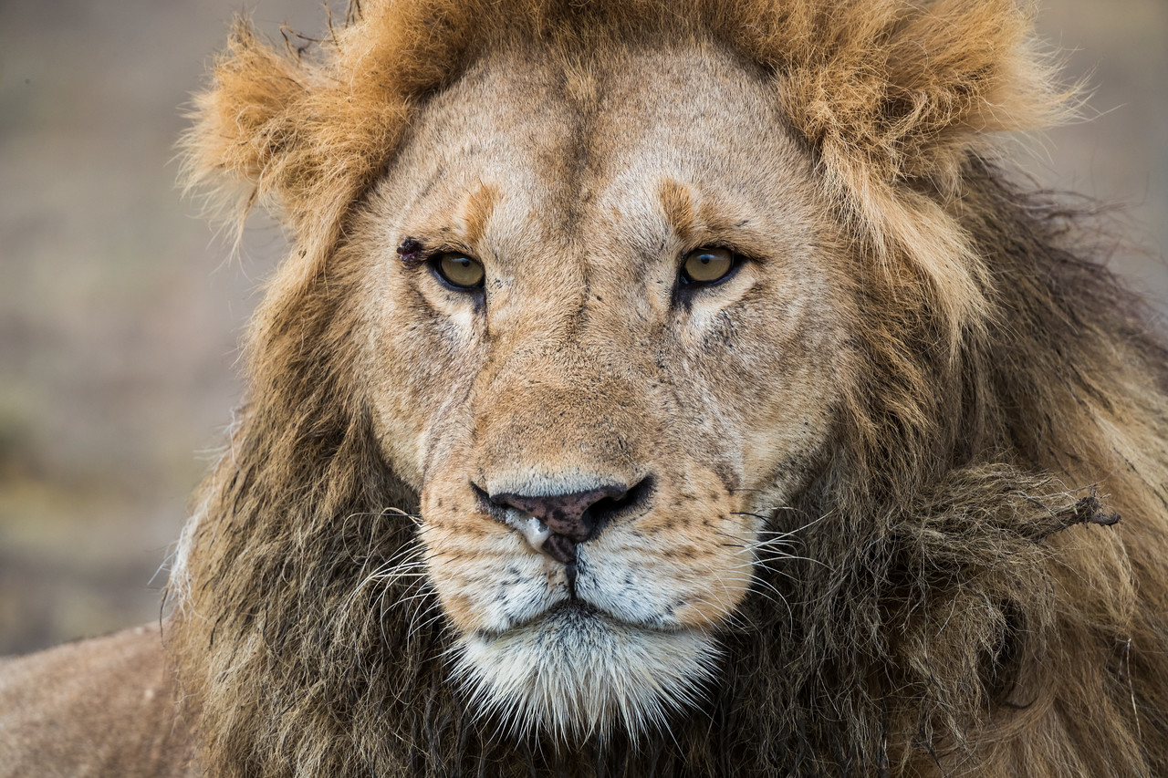 An adult male African lion (Panthera leo), with his dark mane. Taken in Serengeti National Park, Tanzania, Africa.