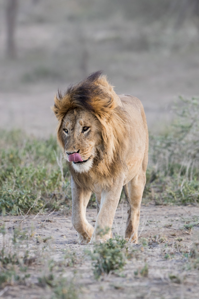 An adult male African lion (Panthera leo) licks his lips. Taken in the Ngorongoro Conservation Area, Tanzania, Africa. The species is listed as vulnerable on the IUCN Red List of Threatened Species at iucnredlist.org.