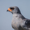 A southern pale chanting goshawk (Melierax canorus). Taken in the Ngorongoro Conservation Area, Tanzania, Africa.