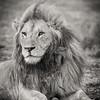 An adult male African lion (Panthera leo), with his dark mane. Taken in Serengeti National Park, Tanzania, Africa.