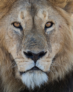 An adult male African lion (Panthera leo). Taken in Serengeti National Park, Tanzania, Africa.