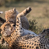 A young cheetah (Acinonyx jubatus) cub playfully bites its mother. Taken in the Ngorongoro Conservation Area, Tanzania, Africa. The species is listed as vulnerable on the IUCN Red List of Threatened Species at iucnredlist.org.