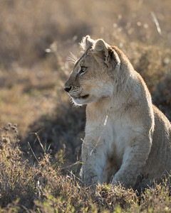 An African lion (Panthera leo) cub. Taken in Serengeti National Park, Tanzania, Africa.