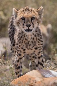 A cheetah (Acinonyx jubatus) cub with prey. Taken in Serengeti National Park, Tanzania, Africa.