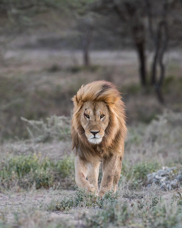 A adult male African lion (Panthera leo) makes his way across his territory, with his mane blowing in the wind. Taken in the Ngorongoro Conservation Area, Tanzania, Africa. The species is listed as vulnerable on the IUCN Red List of Threatened Species at iucnredlist.org.