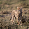 A young cheetah (Acinonyx jubatus) cub. Taken in the Ngorongoro Conservation Area, Tanzania, Africa. The species is listed as vulnerable on the IUCN Red List of Threatened Species at iucnredlist.org.