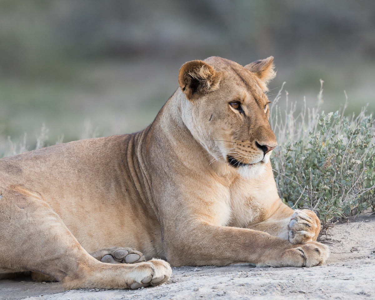 A adult African lioness (Panthera leo) at rest. Taken in the Ngorongoro Conservation Area, Tanzania, Africa. The species is listed as vulnerable on the IUCN Red List of Threatened Species at iucnredlist.org.