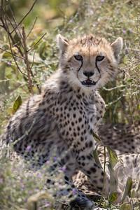 A cheetah (Acinonyx jubatus) cub. Taken in Serengeti National Park, Tanzania, Africa.