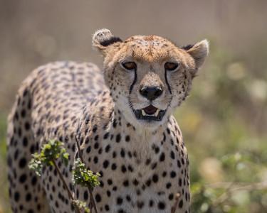 An adult female cheetah (Acinonyx jubatus). Taken in Serengeti National Park, Tanzania, Africa.