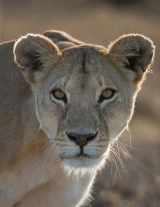 An adult female African lion (Panthera leo). Taken in Serengeti National Park, Tanzania, Africa.