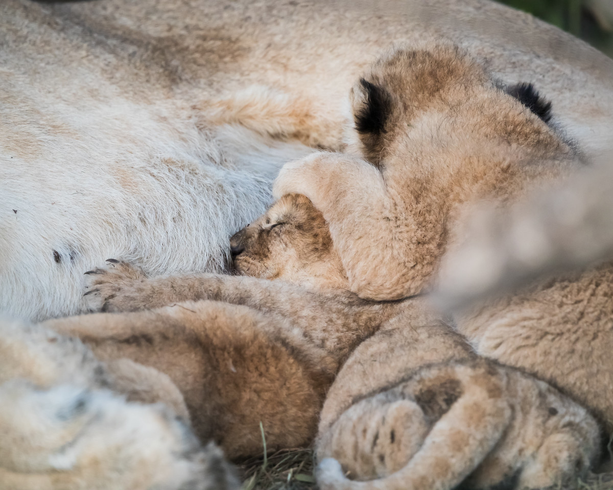 Very young lion (Panthera leo) cubs sleep with their mother. Taken in the Ngorongoro Conservation Area, Tanzania, Africa.