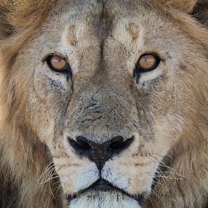 """Spotlight On the Lion"""