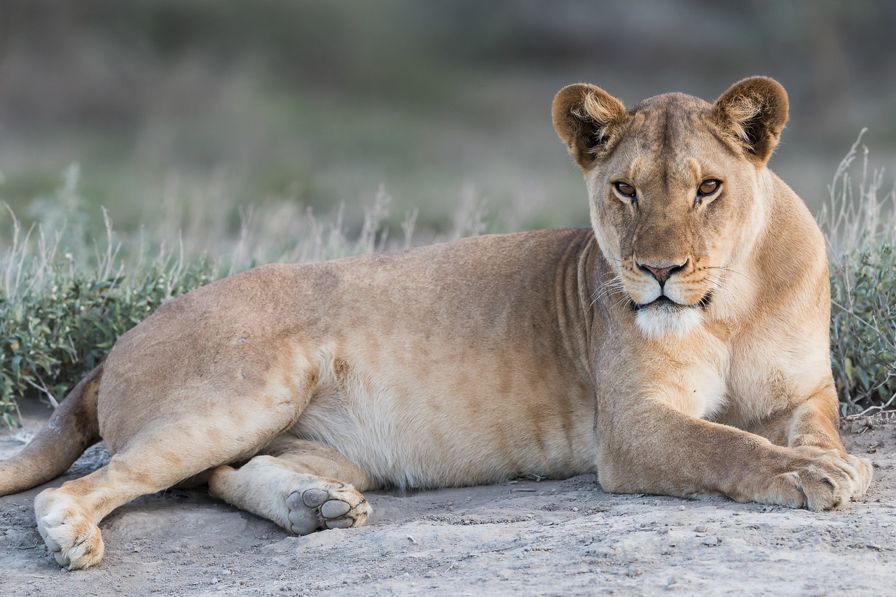 A adult African lioness (Panthera leo) stares intently. Taken in the Ngorongoro Conservation Area, Tanzania, Africa. The species is listed as vulnerable on the IUCN Red List of Threatened Species at iucnredlist.org.
