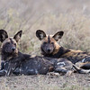 Two adult African wild dog (Lycaon pictus). Taken in Serengeti National Park, Tanzania, Africa.