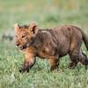 A young Masai lion (Panthera leo nubica) cub. Taken in the Ngorongoro Crater, Tanzania, Africa.