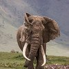 A huge bull African elephant (Loxodonta africana) comes straight at the photographer. He has wonderfully asymmetric tusks. It was a hot day and he was flapping his ears to cool off. The steep walls of the Ngorongoro Crater are in the background. Taken in Tanzania, Africa.