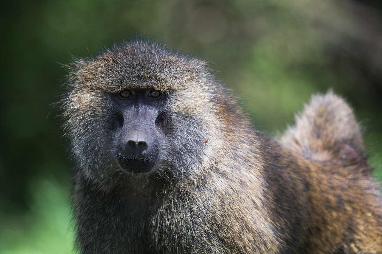 An adult male olive baboon (Papio cynocephalus anubis). Taken in the Ngorongoro Crater, Tanzania, Africa.