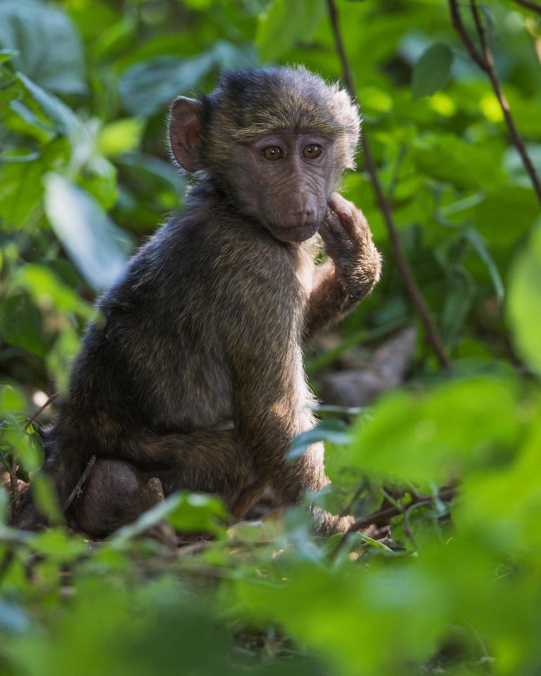 A juvenile olive baboon (Papio cynocephalus anubis). Taken in the Ngorongoro Crater, Tanzania, Africa.