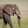 An African elephant (Loxodonta africana) strolls, showing its asymmetric tusks. In the background are the steep walls of the Ngorongoro Crater. Taken in Tanzania, Africa.