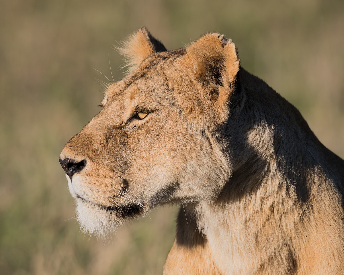 A Masai lioness is on the alert (Panthera leo nubica). Taken in the Ngorongoro Crater, Tanzania, Africa.