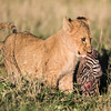 A Masai lion (Panthera leo nubica) cub moves the head of a baby plains zebra (Equus quagga). Taken in the Ngorongoro Crater, Tanzania, Africa.