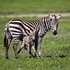 """""""Newborn Zebra and Mom"""""""