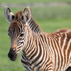 A baby plains zebra (Equus quagga). The species is listed as near threatened on the IUCN Red List of Threatened Species at iucnredlist.org. Taken in the Ngorongoro Crater, Tanzania, Africa.